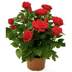 Trandafiri pitici